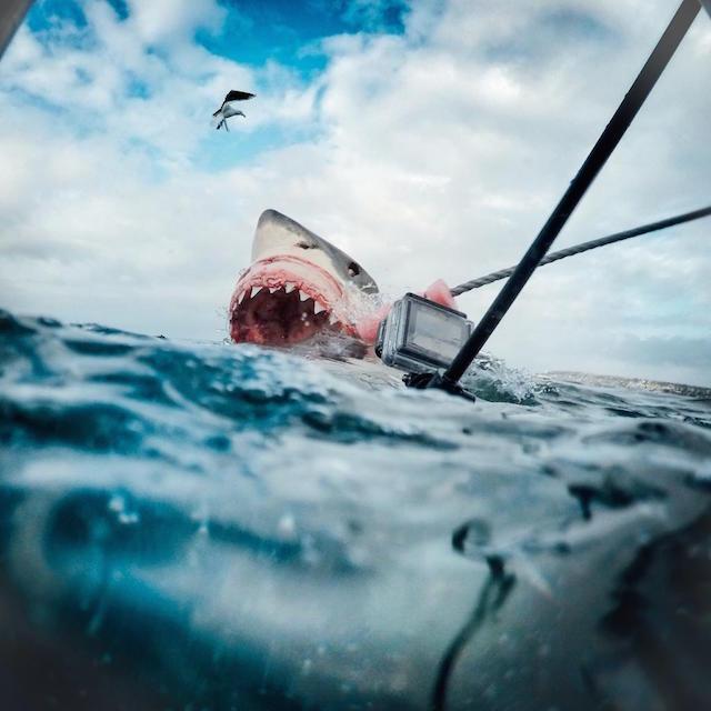 Une GoPro mise à contribution pour défendre la cause de la protection des requins, espèce plus menacée que menaçante - (CC) A.C. Brewer